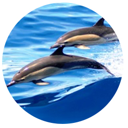 Common Dolphin Whale Watching Long Beach Visitors Will Also Likely See The Generally Weighs About 160 Pounds And Is 5