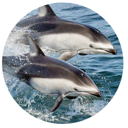 Pacific White Sided Dolphin Whale Watching Long Beach Patrons May Also Have An Opportunity To View The