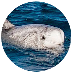 Risso Dolphin Whale Watching Long Beach Visitors May Also See The S Dolphins Known As Gray Have Thick Bos And
