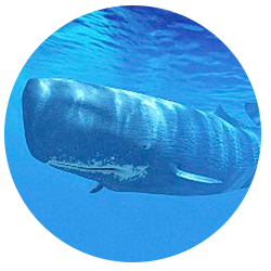 Whale Watching Long Beach Visitors May Also Spot The Has Largest Brain Of Any Animal In Existence